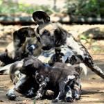 Nati due cuccioli di licaone al Bioparco di Roma05