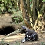 Nati due cuccioli di licaone al Bioparco di Roma06