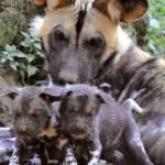 Nati due cuccioli di licaone al Bioparco di Roma07
