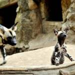 Nati due cuccioli di licaone al Bioparco di Roma08