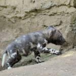 Nati due cuccioli di licaone al Bioparco di Roma09