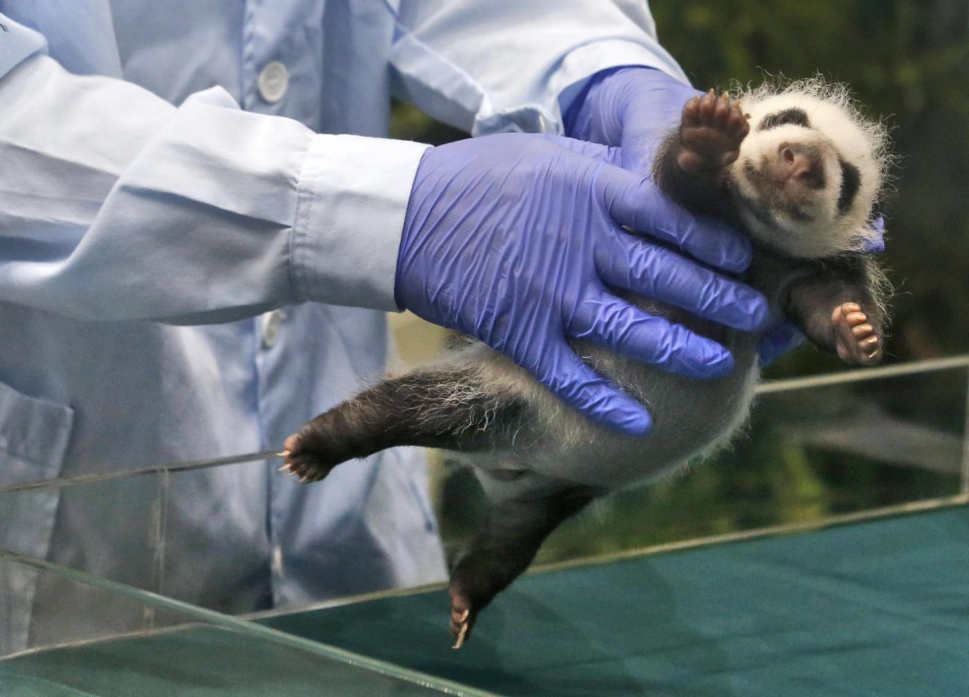 Tre cuccioli di panda sopravvivono dopo la nascita (foto): è la prima volta05