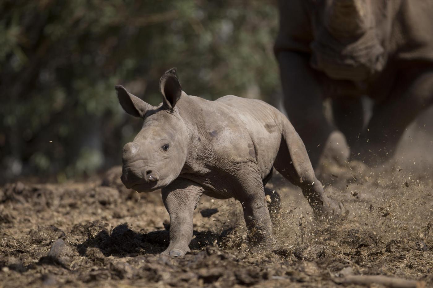 Israele, nel safari nasce un cucciolo di rinoceronte bianco FOTO03