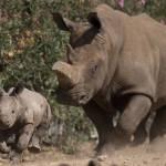 Israele, nel safari nasce un cucciolo di rinoceronte bianco FOTO02