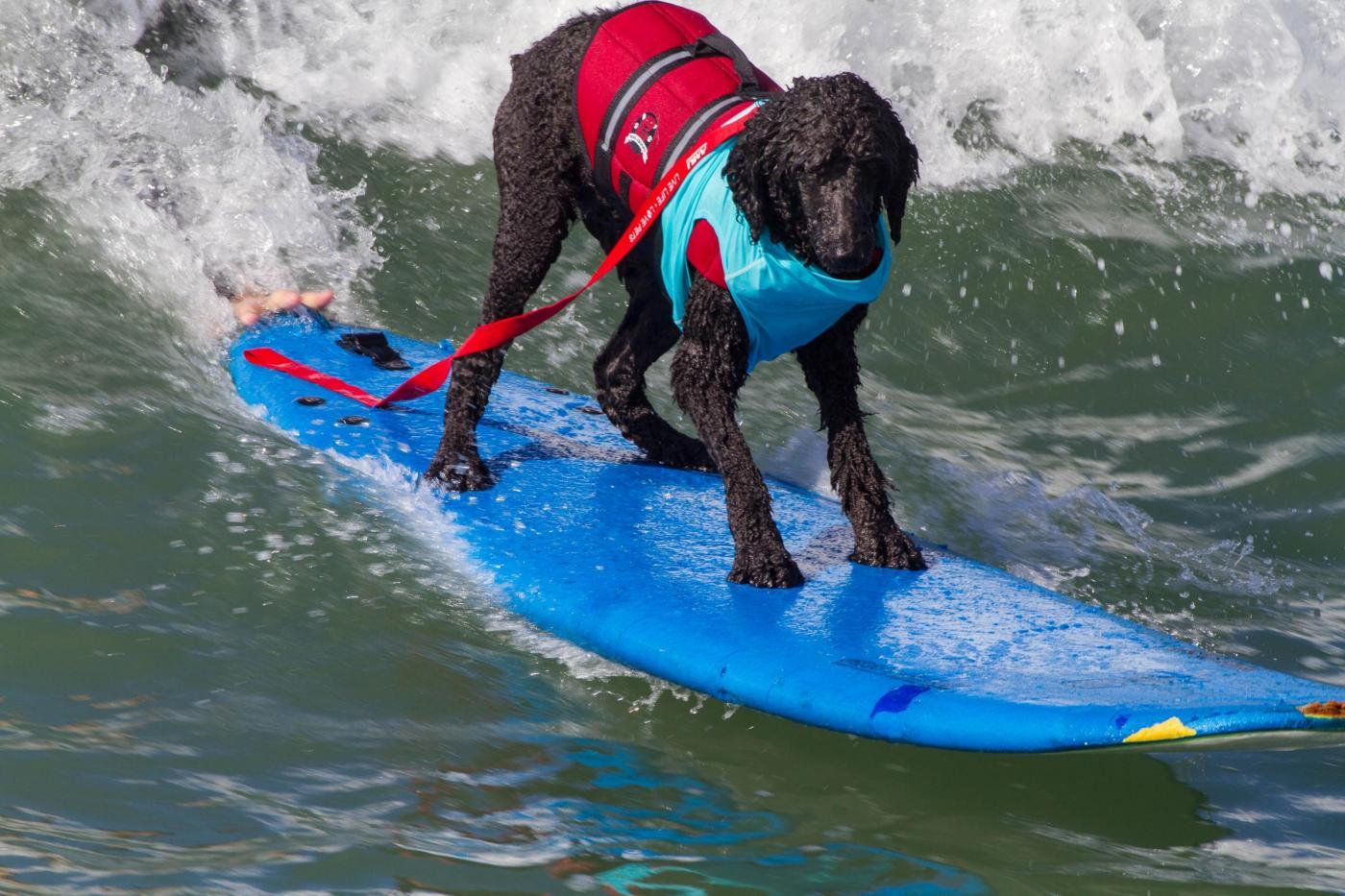 Surf City Surf Dog, al via in California la sesta edizione25