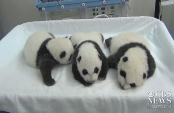 I cuccioli di panda aprono gli occhi per la prima volta VIDEO