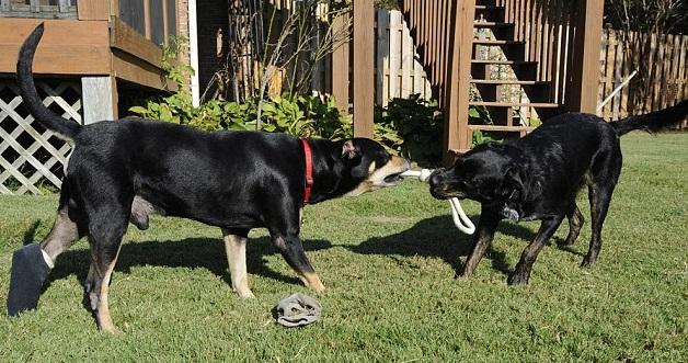 Sopravvive a 2 eutanasie e ad un incidente: ecco Lazarus, il cane miracolato01