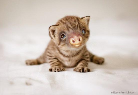 """Gadipo"""", sul web impazza l'adorabile incrocio tra un gatto e un bradipo07"""