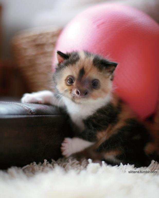 """Gadipo"""", sul web impazza l'adorabile incrocio tra un gatto e un bradipo02"""