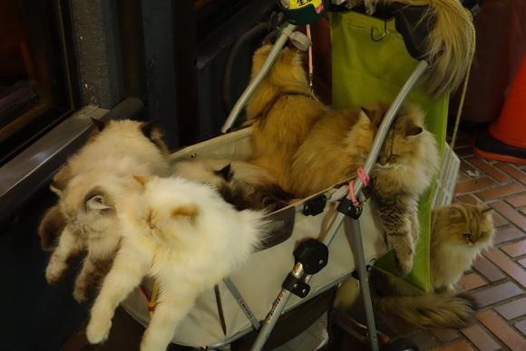 Giappone, l'uomo che porta nel passeggino 9 gatti himalaiani09