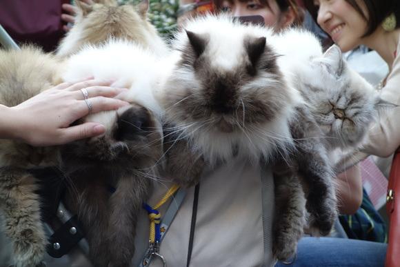 Giappone, l'uomo che porta nel passeggino 9 gatti himalaiani08