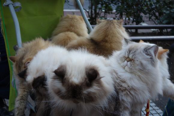 Giappone, l'uomo che porta nel passeggino 9 gatti himalaiani07