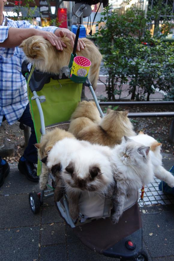 Giappone, l'uomo che porta nel passeggino 9 gatti himalaiani05