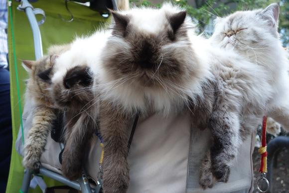 Giappone, l'uomo che porta nel passeggino 9 gatti himalaiani04