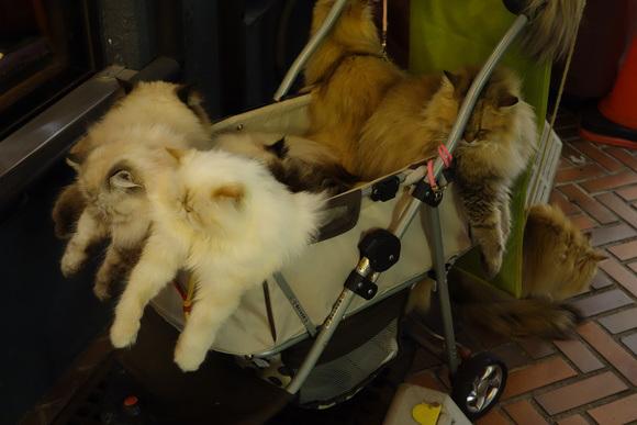 Giappone, l'uomo che porta nel passeggino 9 gatti himalaiani02