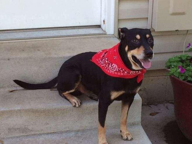Sopravvive a 2 eutanasie e ad un incidente: ecco Lazarus, il cane miracolato3