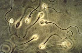 Vegetariani, allarme fertilità: dieta povera carne diminuisce numero spermatozoi