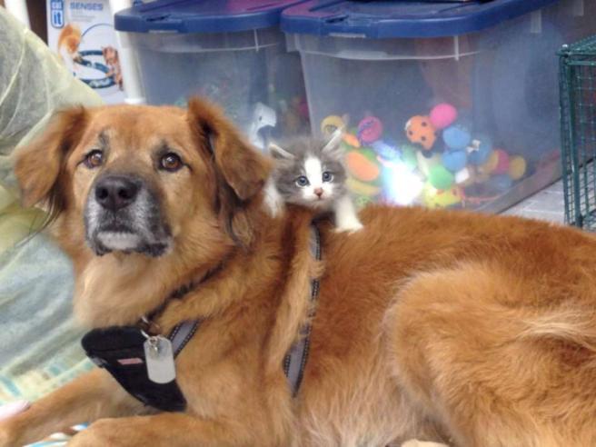 Il golden retriever sopravvissuto a Katrina che fa da baby sitter ai gatti03