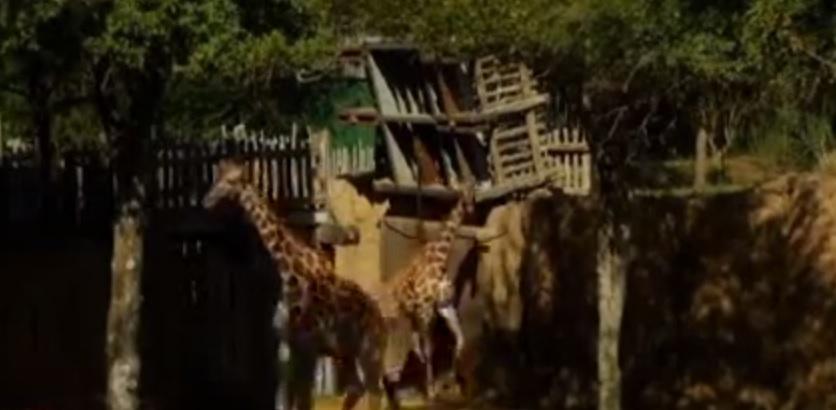 Kopano, il cucciolo di giraffa nato allo zoo di Dallas VIDEO