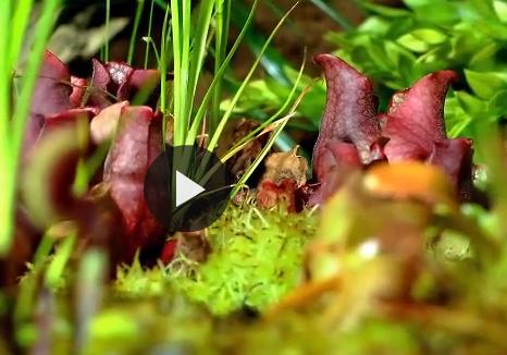 Il timelapse delle piante carnivore in azione