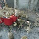 Thailandia, il buffet per sole scimmie06