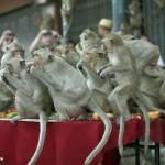 Thailandia, il buffet per sole scimmie05