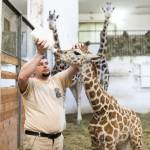 Ungheria, baby giraffa nutrita col biberon 03