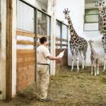 Ungheria, baby giraffa nutrita col biberon 01
