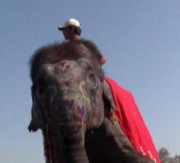 Concorso di bellezza per elefanti in Nepal VIDEO