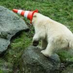 Nela e Nobby, i due orsi polari che giocano col birillo10