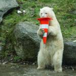 Nela e Nobby, i due orsi polari che giocano col birillo09