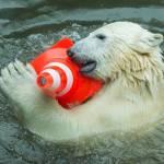 Nela e Nobby, i due orsi polari che giocano col birillo008