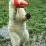 Nela e Nobby, i due orsi polari che giocano col birillo07
