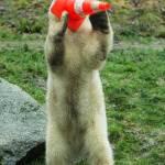 Nela e Nobby, i due orsi polari che giocano col birillo06