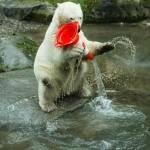 Nela e Nobby, i due orsi polari che giocano col birillo4