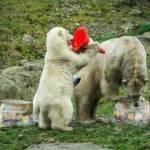 Nela e Nobby, i due orsi polari che giocano col birillo3