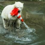 Nela e Nobby, i due orsi polari che giocano col birillo02
