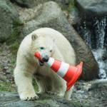 Nela e Nobby, i due orsi polari che giocano col birillo01