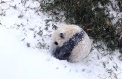 Cucciolo di panda gioca con la neve per la prima volta VIDEO