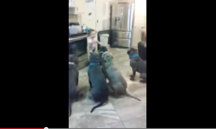 Usa, a 4 anni mette ordina a sei pitbull affamati di sedersi VIDEO