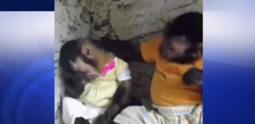 Scimmie sembrano umane: Angelica è giù, a consolarla arriva Toby