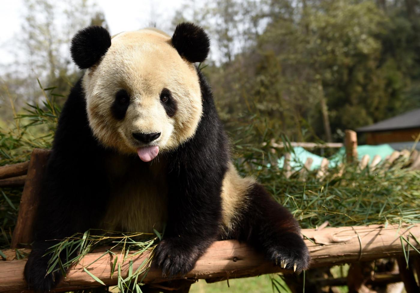 Cina, Sijia, il panda gigante prende il sole 26