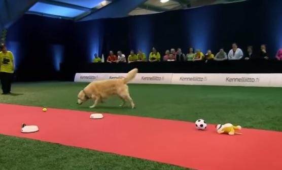 VIDEO YouTube: Golden Retriever che al concorso fa quello che vuole