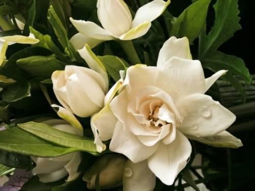Stop mimose! 8 marzo compra una gardenia: aiuti lotta a sclerosi multipla