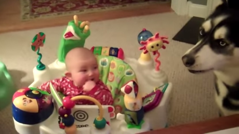 Come far smettere di piangere un bebè? Con un cane che sa ululare VIDEO