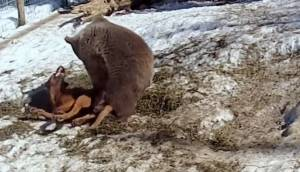 Orso Grizzly incontra cane: i due si mettono a giocare insieme VIDEO