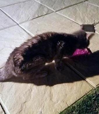Australia: Pippa, la gatta che sopravvive 49 giorni dentro un container03