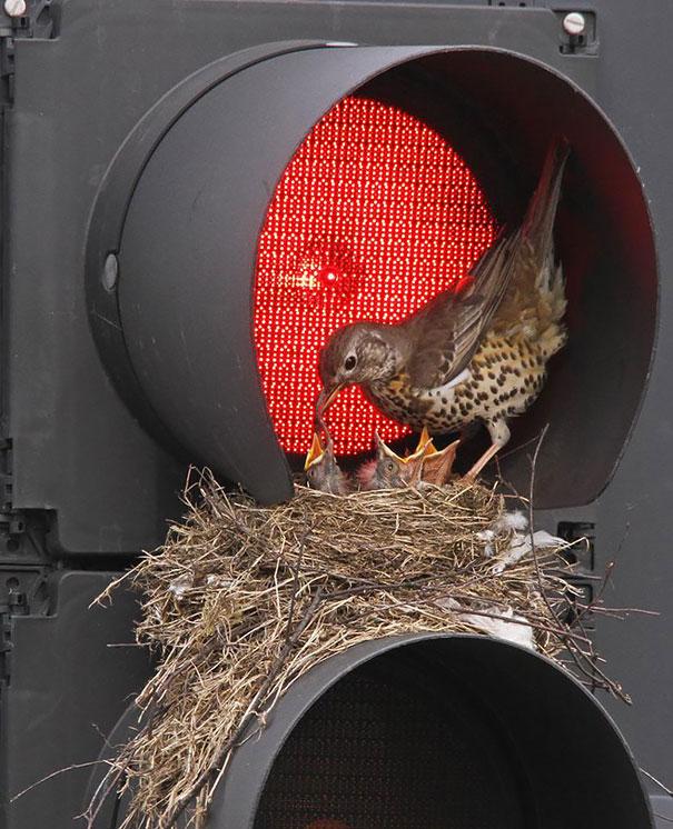 I nidi degli uccelli nei posti più strani FOTO Boredpanda 05