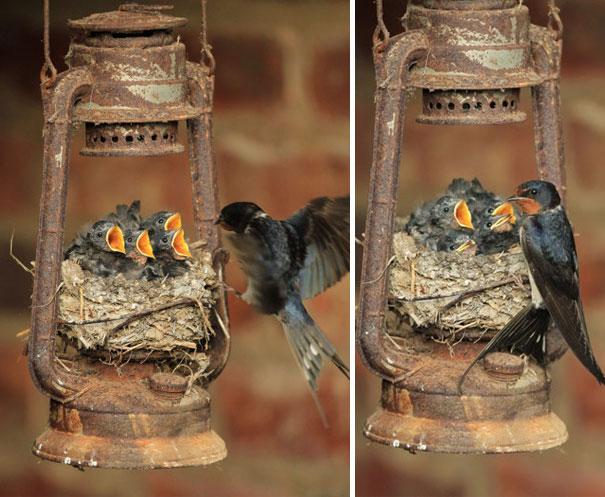 I nidi degli uccelli nei posti più strani FOTO Boredpanda 07