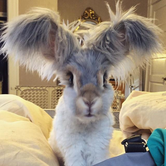 Wally, il coniglio d'angora con le orecchie che sembrano ali d'angelo